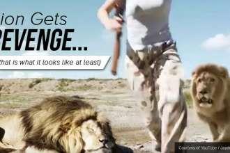 lion gets revenge