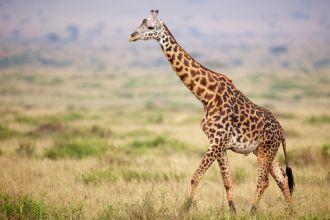 giraffe-in-kenya