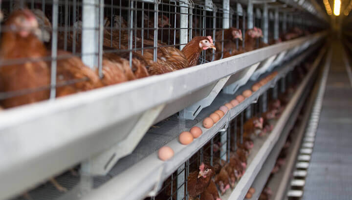 factory-farming-egg-factory