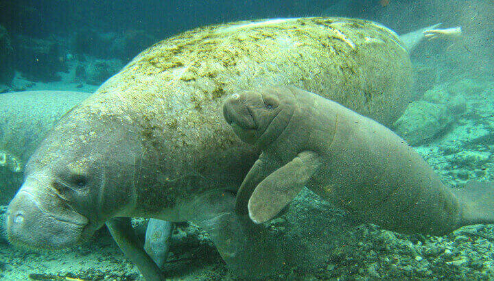 manatee-with-young