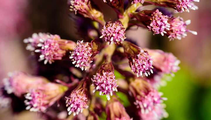 Butterbur health benefits