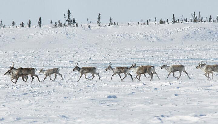 A herd of Barren-ground caribou in Wapusk National Park, Manitoba. (Photo Courtesy: Peter Ewins, WWF Canada)