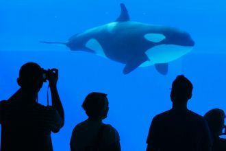 Captive orca whales are on the rise in China