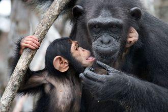Chimpanzees at risk from misuse of antibiotics