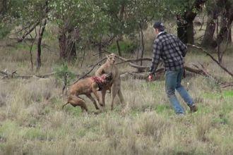 Man punches kangaroo to save dog