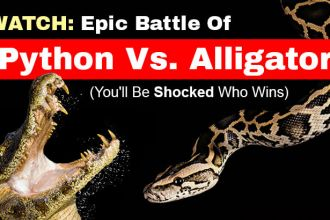 BattlePythonVsAlligator_FeaturedImage720x410