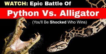BattlePythonVsAlligator_FeaturedImage720x410