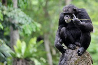 Chimpanzees have advanced tool-use