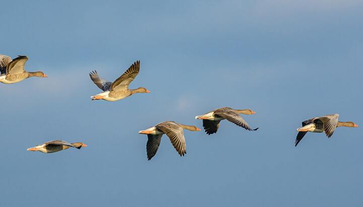 Geese and other birds have been systemically killed around airports in New York