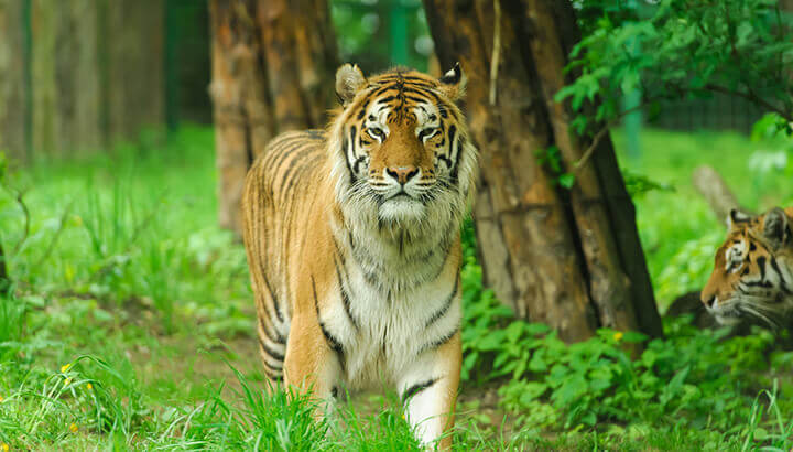 Greater Mekong Subregion has threatened tiger population