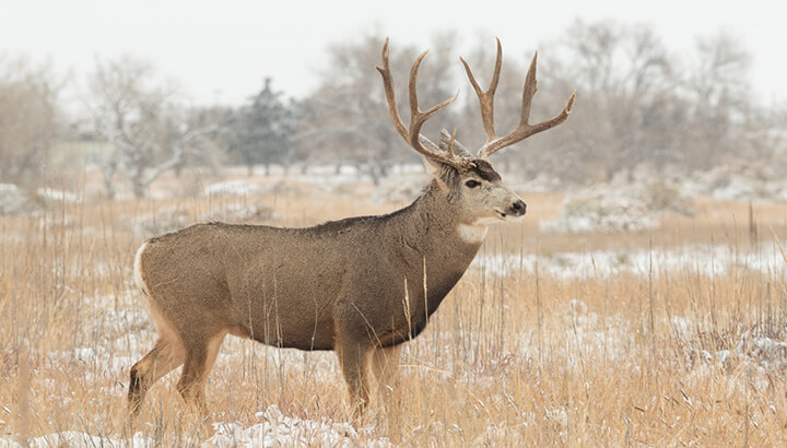 Plan protects mule deer by killing and relocating predators