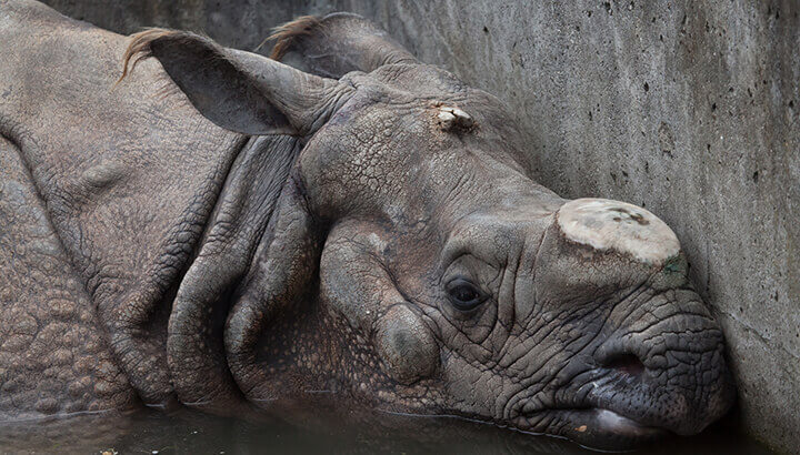 Rhino horns are a commodity on the black market