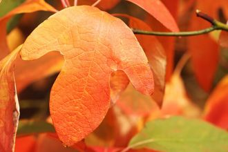 Sassafras can help beat inflammation and pain