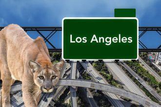 Should we help mountain lions cross freeways