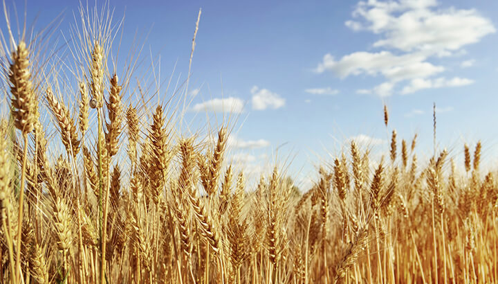 The government says to eat more wheat, despite health effects.